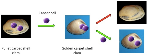 clam-transfer-pic